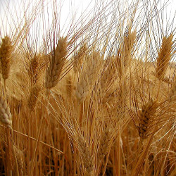 Sheafs of wheat